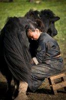 Yak, Terelj national park, Mongolia
