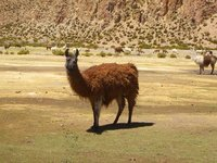 Grazing Llama...
