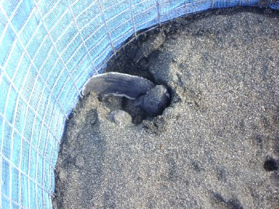 Leatherback hatchling