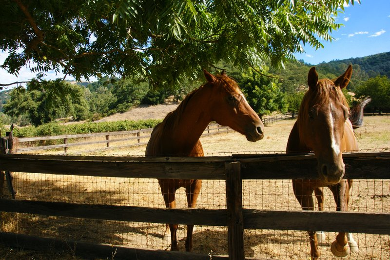 Next generation of race horses at the Rustridge Ranch and Winery, Nappa Valley, California