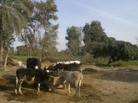 My Village Shareefa,