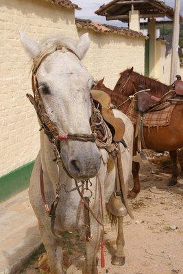 Palomo, Nyree´s crazy horse.