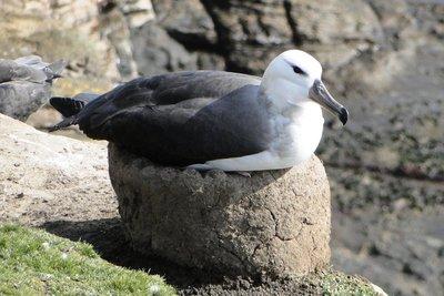 Albatross_Nests__1_.jpg
