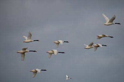 Black-Necked_Swans__1_.jpg