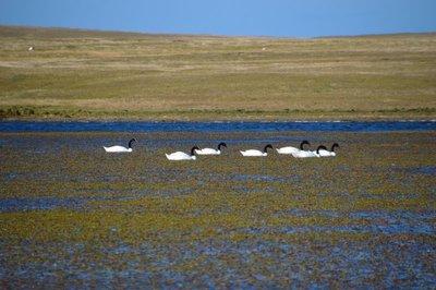 Black-Necked_Swans__2_.jpg