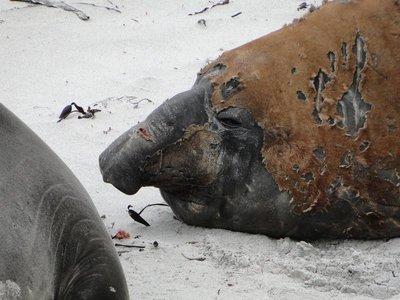 Elephant_Seal__12_.jpg