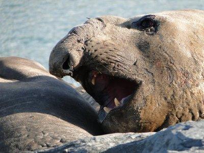 Elephant_Seals__1_.jpg