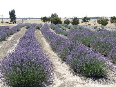 Emu_Bay_Lavender_Farm.jpg