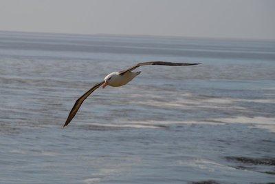 Flying_Albatross__1_.jpg
