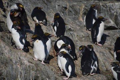 Macaroni_Penguins__3__.jpg