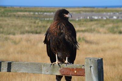 Other_Bird..aracara__2_.jpg
