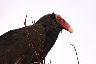 Other_Bird..key_Vulture.jpg