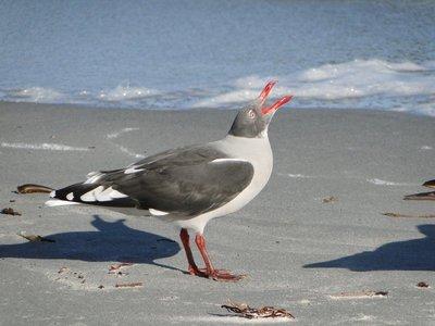 Other_Bird..olphin_Gull.jpg
