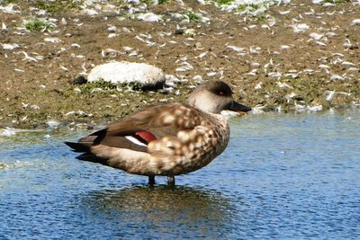 Other_Bird..rested_Duck.jpg