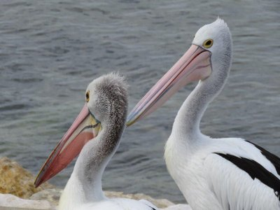 Pelican Feeding (4)