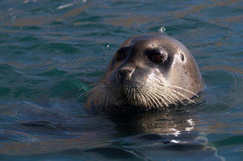 large_Bearded_Seal__3_.jpg