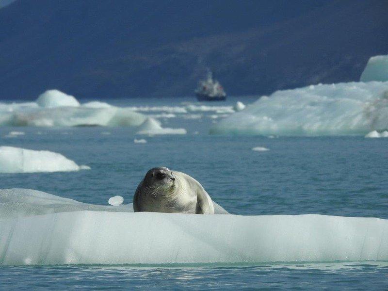 large_Bearded_seal.jpg