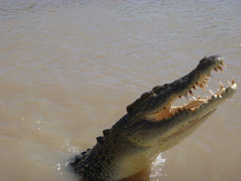large_Jumping_Crocs_Darwin__2_.jpg
