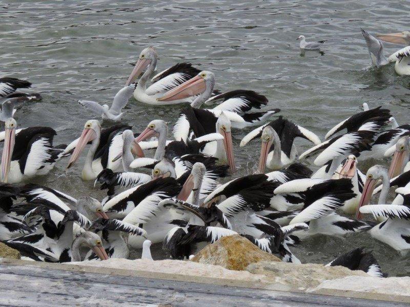 large_Pelican_Feeding__10_.jpg