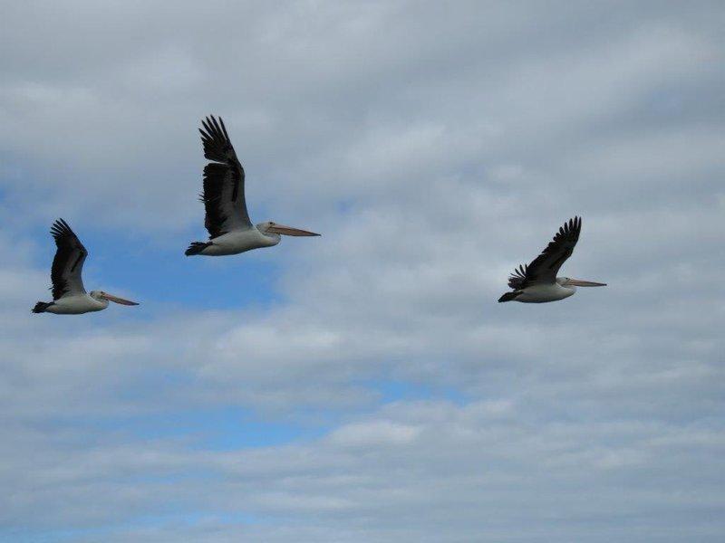large_Pelican_Feeding__12_.jpg