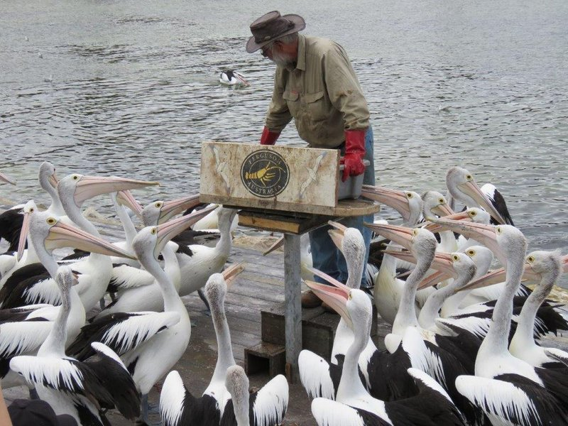 large_Pelican_Feeding__8_.jpg