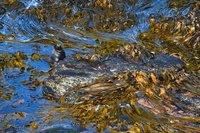 Sea Lion in the kelp