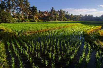 Ubud rice paddy