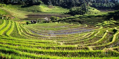Belimbing rice fields 1