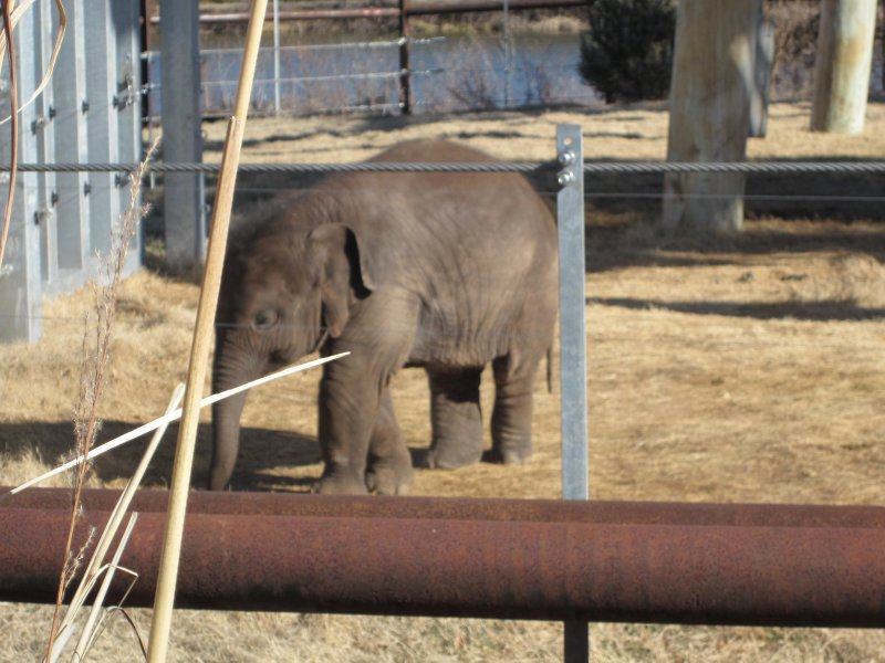 Baby Elephant - born Summer 2011