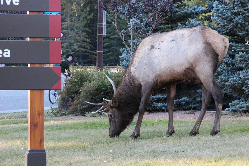One of the Banff locals dining out in town