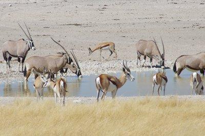 Sprinkbok and Oryx