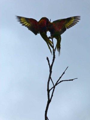 Squabbling Parrots