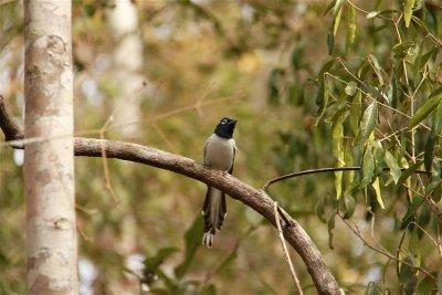 Oiseau de Paradis (Male)