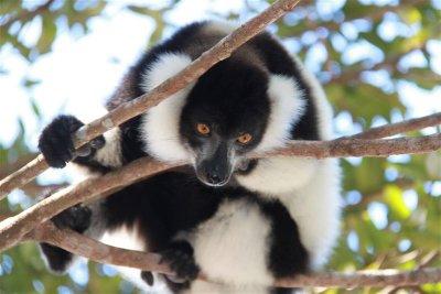 Semi-tamed lemur at the Palmarium