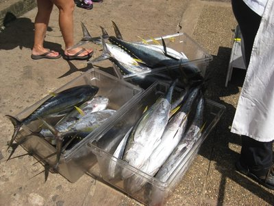 6-1.4 Yellow Fin Tuna