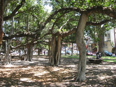 6-8 (7) Lahaina, Maui Banyan Tree