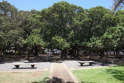 6-8r (4) Lahaina Banyan Tree