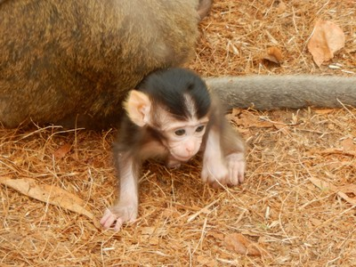 This newborn monkey still couldn't walk confidently but would wobble and tip over; the monkeys added to the ambiance of the jungle temples