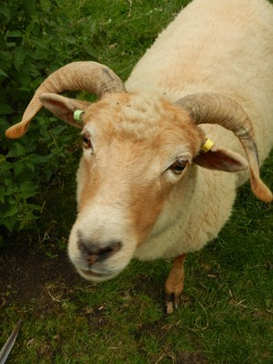 The Wiltshire horned sheep is unusual among native British breeds, for it has the unusual feature of molting its short wool and hair coat naturally in spring, alleviating the need for shearing