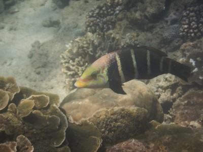 Barred thicklip wrasse; some of the island's best beaches have been purchased by resorts in recent years and then closed to the public; Phuket is better suited to people who like all-inclusive resorts