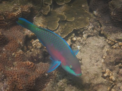 Quoy's parrotfish; I visited Paradise Beach one day but there was a $6  entrance fee and they also wouldn't allow my Coke Zero in so I opted to go elsewhere