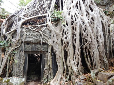 One of the most iconic photos at Ta Prohm is also one of my favorites; spung trees, most famous for their presence here, can grow to more than 45 m with a spread of 10 m