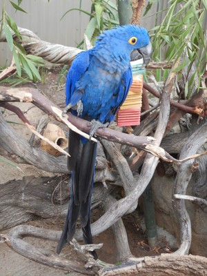 The hyacinth macaw, native to the tropical forests of Brazil, is the largest of all parrots (measuring up to 40 inches from head to the tip of its tail); it's an endangered species because of the illegal pet trade