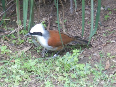 The white-crested laughingthrush is a highly social and vocal bird found in forest and scrub from the Himalayan foothills to SE Asia; the ideal habitat for this species includes bamboos, which provide excellent nesting substrate and camouflage