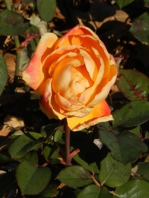 Chris Evert; the Columbus Park of Roses is one of the largest public rose gardens in the US with 12,000  rose specimens