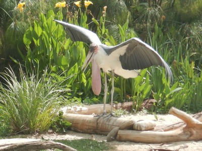 The Marabou Stork, the largest of all storks standing almost 5 feet, was frequently spotted on my African tours; this stork's large, heavy bill continues growing throughout its life and can reach 14 inches long
