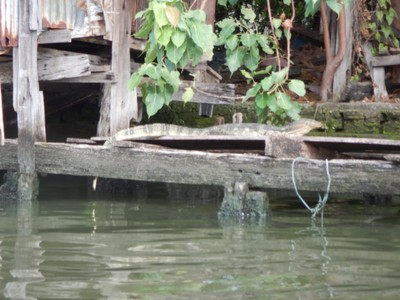Monitor lizards are a common sight in Bangkok; they can grow to 10 feet and have become a significant problem in parts of the city