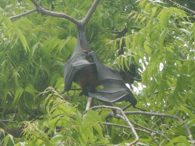 Noisy fruit bats were common on this island of 2300 people; the streets are all sand-packed with most people getting around on foot, by bicycle or scooter