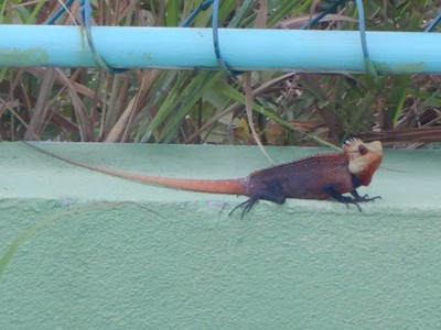 Male Oriental garden lizard; the only reason to visit Maamigili is to see whale sharks since there's not even a decent beach on the island