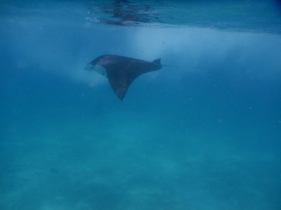 One of my excursions was searching for manta rays; we saw a couple but they were juvenile and much smaller than other mantas I've seen
